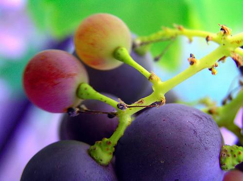 Grappolo uva a bacca nera Argiolas