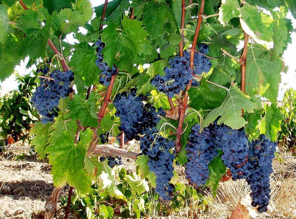 Grappoli vitigno Carignano
