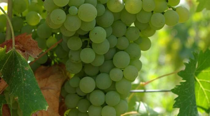 Grappolo uva Vermentino
