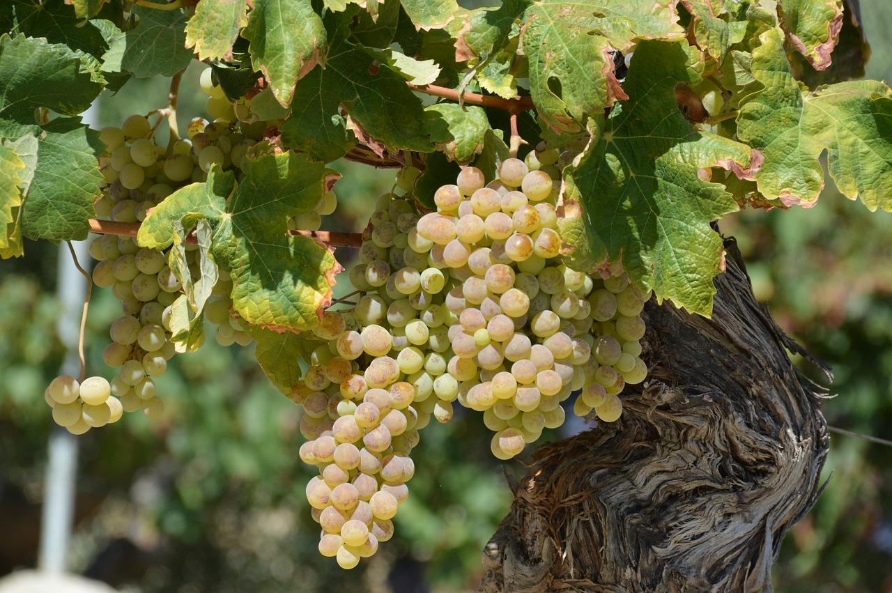 Grappoli di uva a bacca bianca