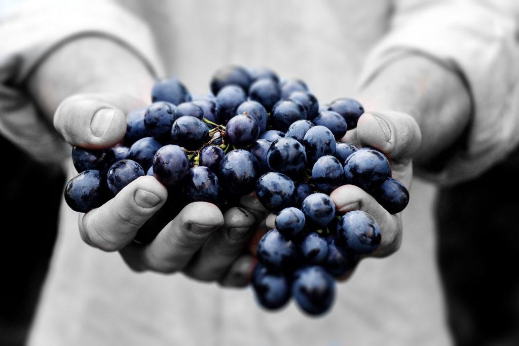 Grappolo d'uva nelle mani