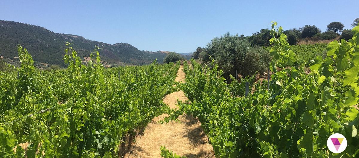 Vigna ad Orgosolo in Sardegna