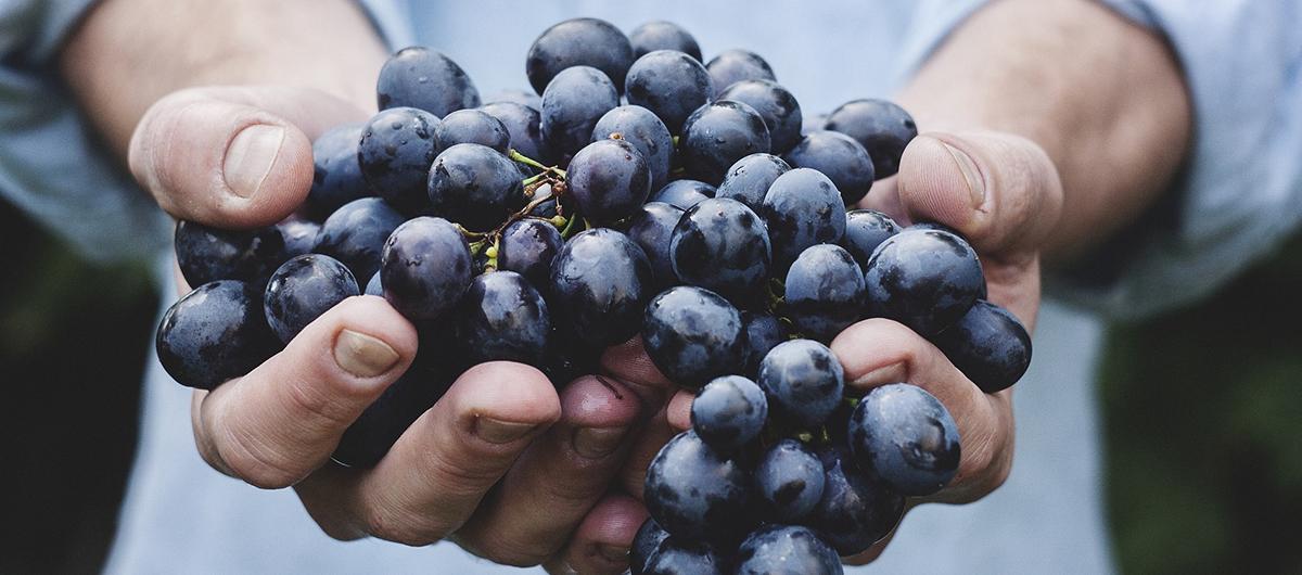 Grappolo di uva tra le mani