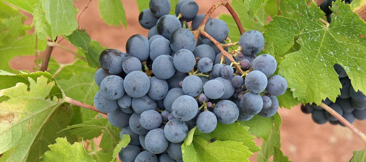 Grappolo di uva a bacca nera