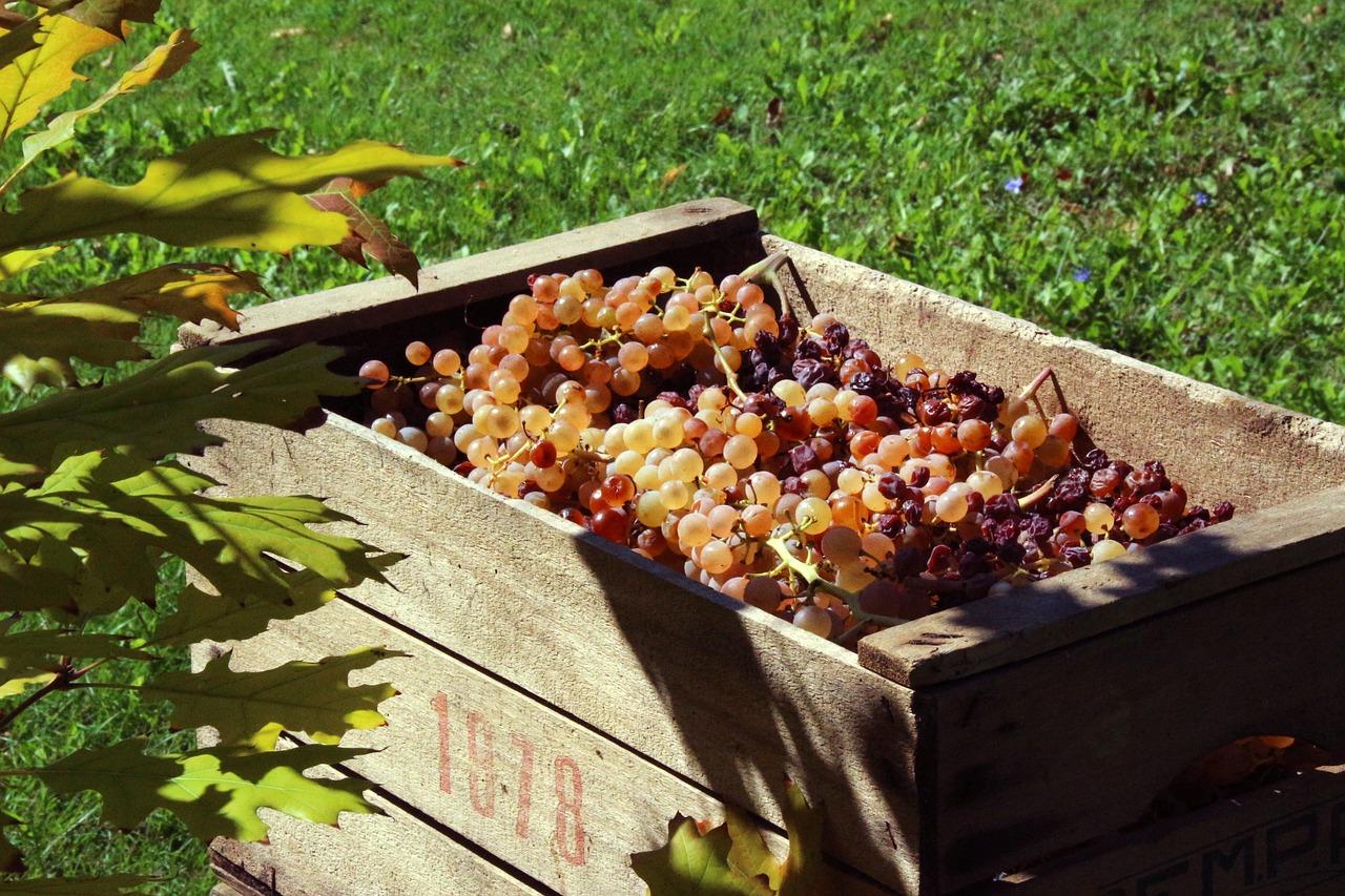 Cassetta di legno con uva in Vendemmia