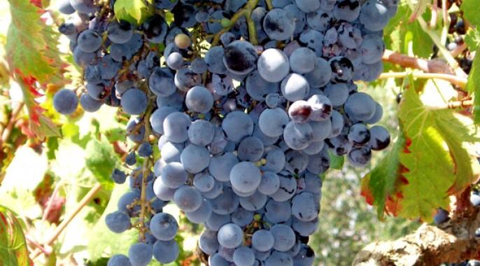 Grappolo di uva Monica