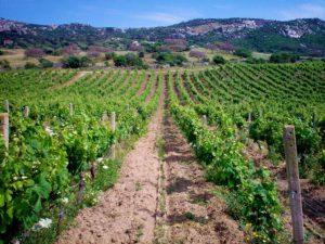 Vigneto - Azienda Agricola Tondini