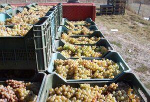 Cassette uve bianca Melis Terralba