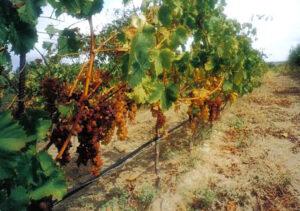 Filare Moscato uva Roccavorte