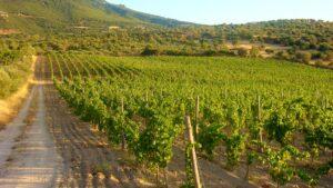 Vigna in Oliena Sardegna