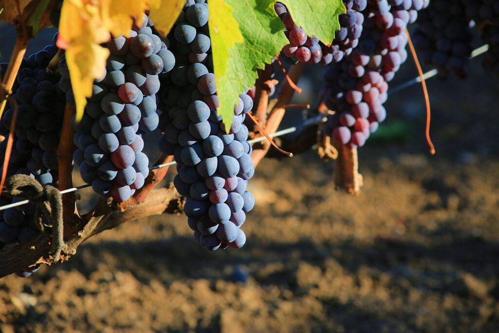 Grappoli di uva a bacca rossa