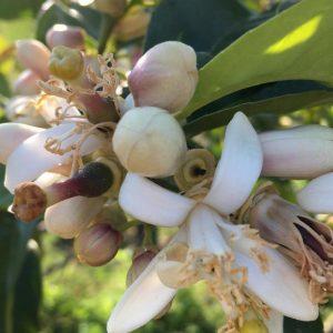 Fiore di Pompia