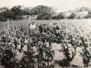 Zio Antonino che ara la vigna con i buoi anno 1970