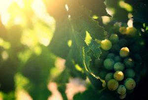 Grappoli uva Tenute Perdarubia