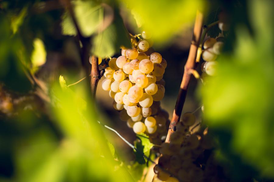 Grappolo di uva autoctona sarde Panzale