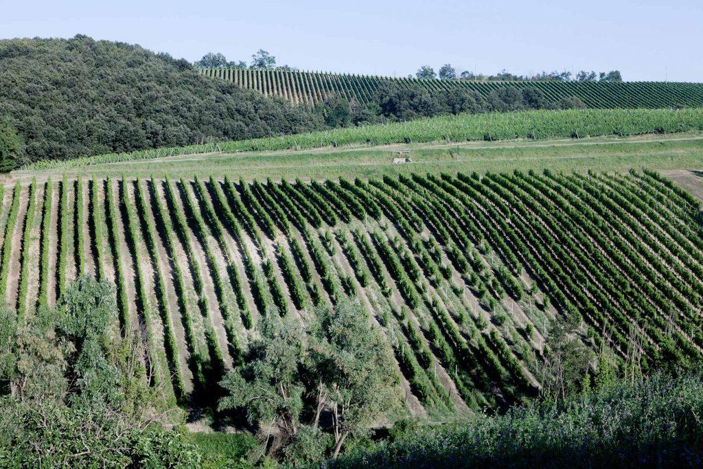 Monte delle Vigne, vigneto biologico