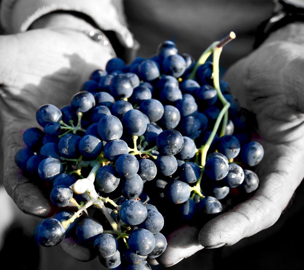 Grappolo uva nelle mani